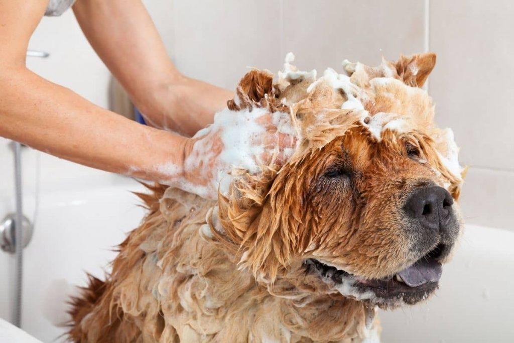 meilleur shampoing pour chien