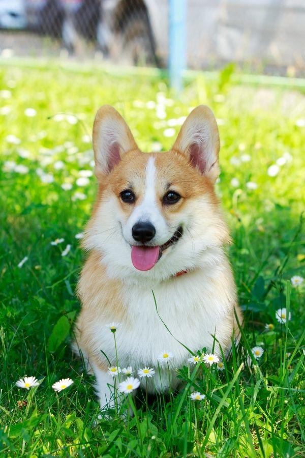 Welsh Corgi Pembroke Caractere Prix Sante Conseils Dogsplanet Com