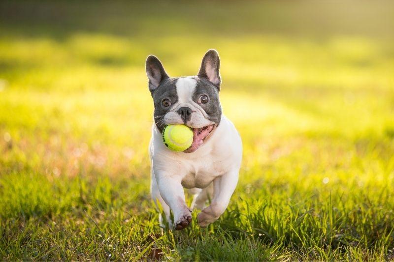 bouledogue francais chien gris