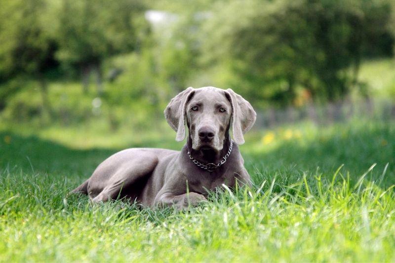 chien gris bleu