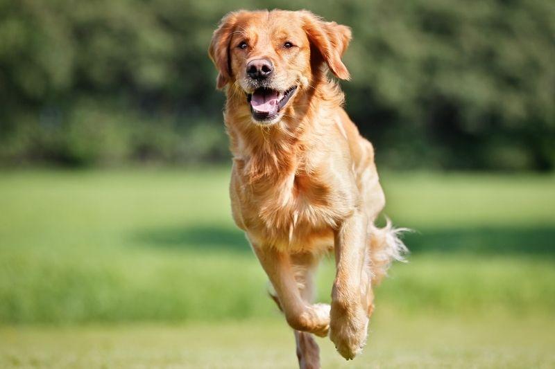 golden retriever running labrador