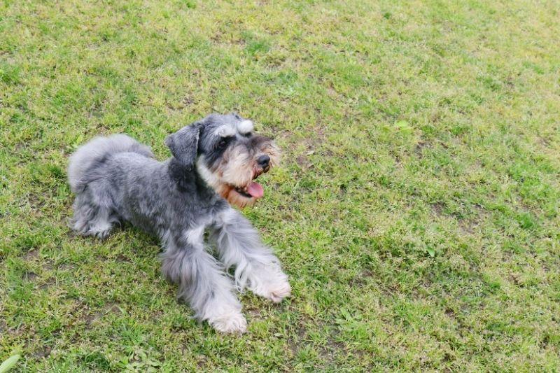 miniature schnauzer grey and white dog breeds
