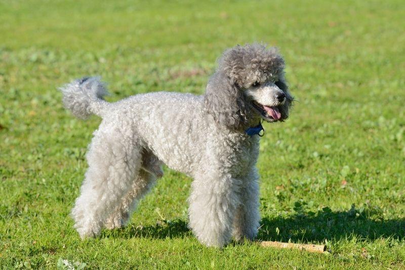 petit chien gris