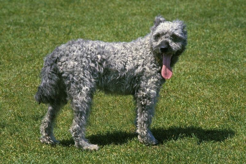 pumi grey dog