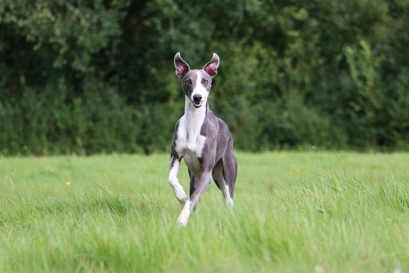 whippet gris chien