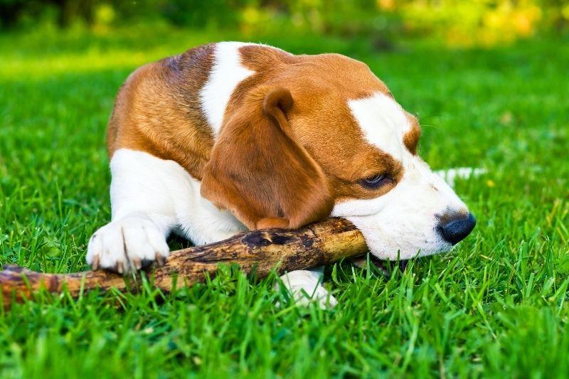 why do dogs carry sticks