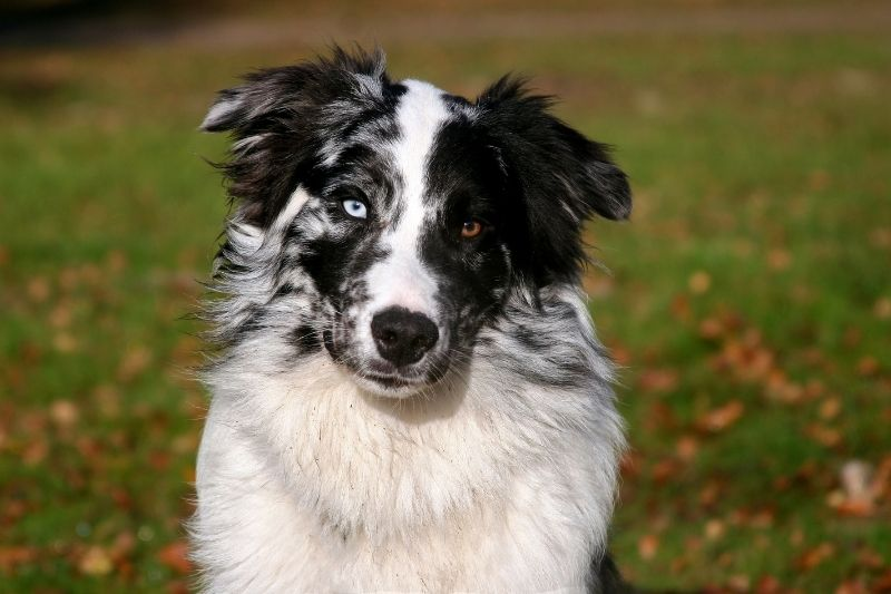 black and white spotted dog australian shepherd