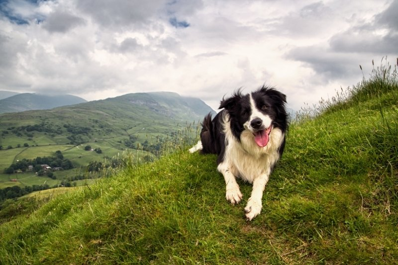 border collie mountain
