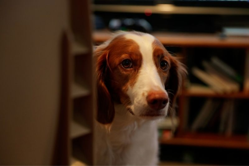 brittany spaniel in house