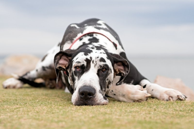 brown and white spotted dog great dane