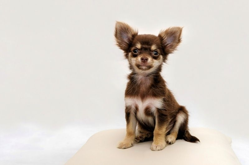 chihuahua spotted dog breed