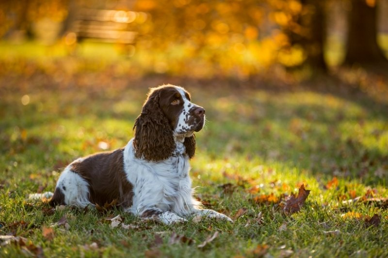 cocker spaniel spotted dog breeds