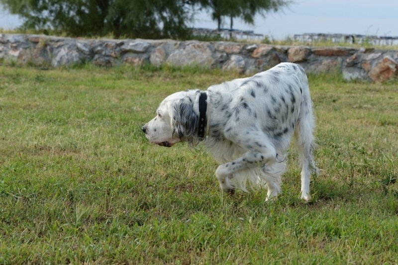 english setter on grass