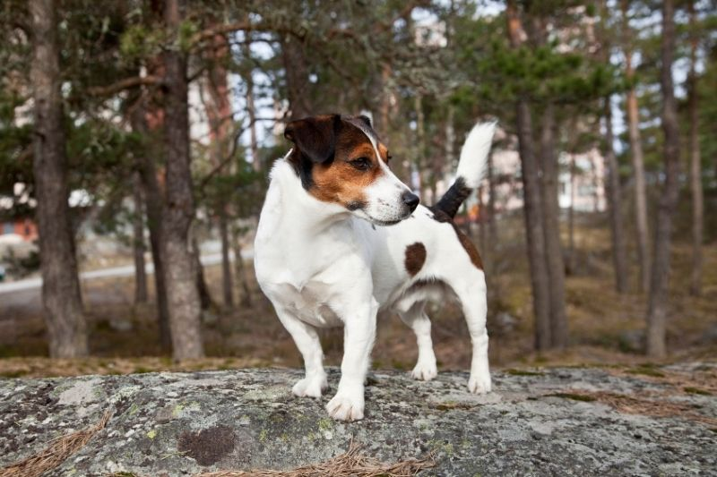 jack russell terrier forest