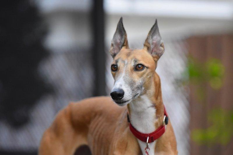 greyhound bark