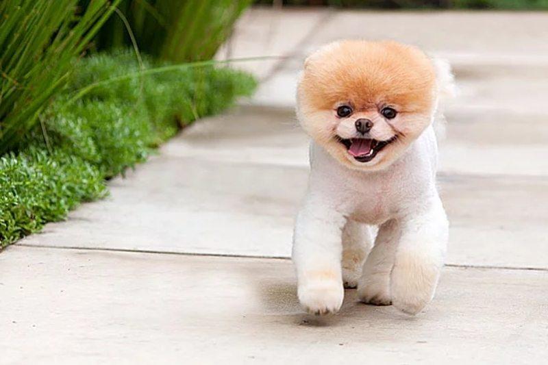 boo chien celebre
