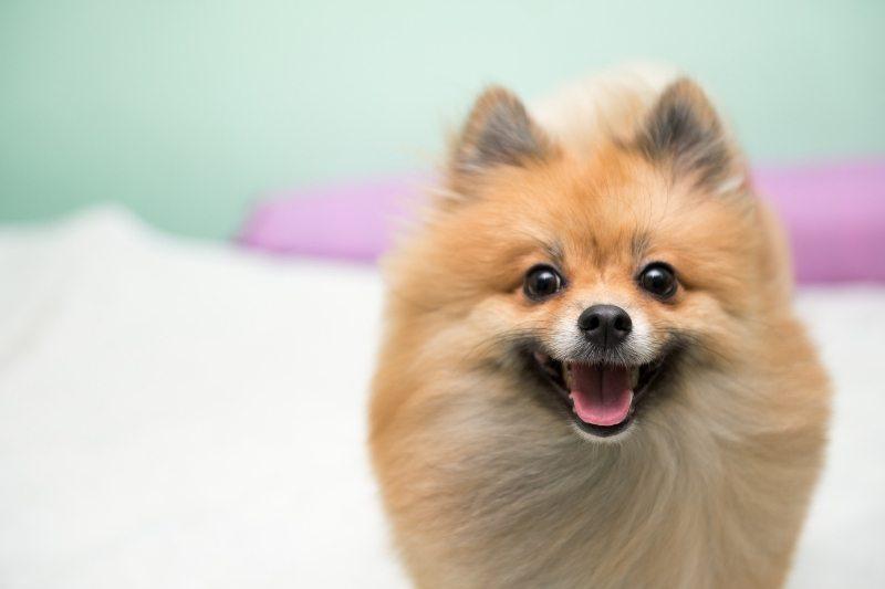 petit chien spitz nain