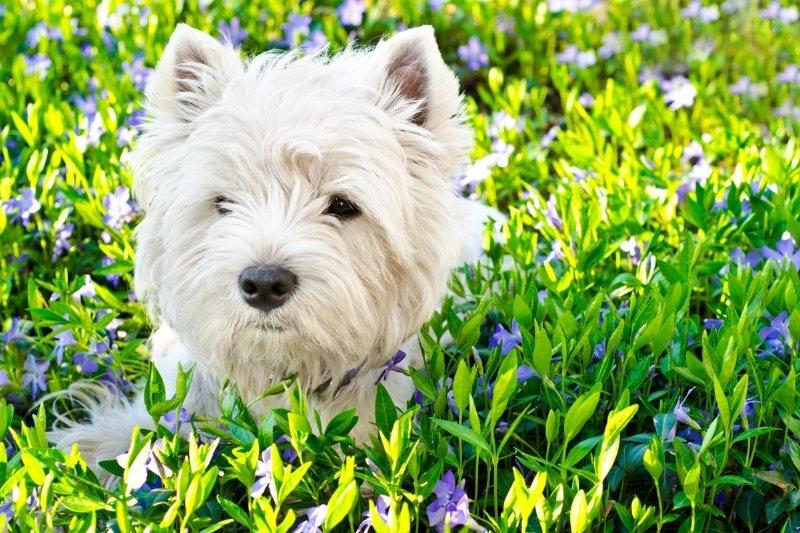 race de petit chien blanc