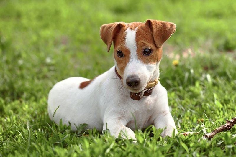race de petit chien mignon