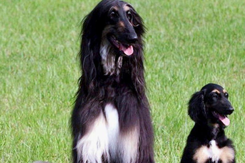 snuppy chien cloné