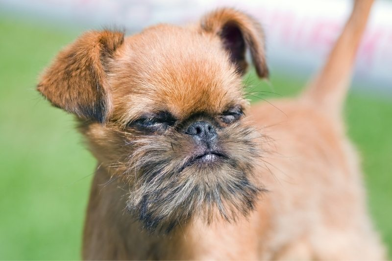 brussel griffon dont shed