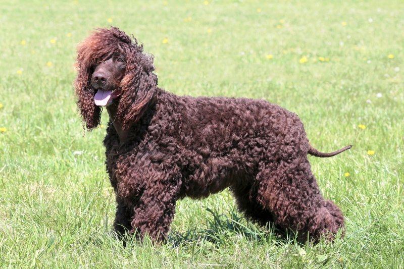 chien d'eau irlandais poils