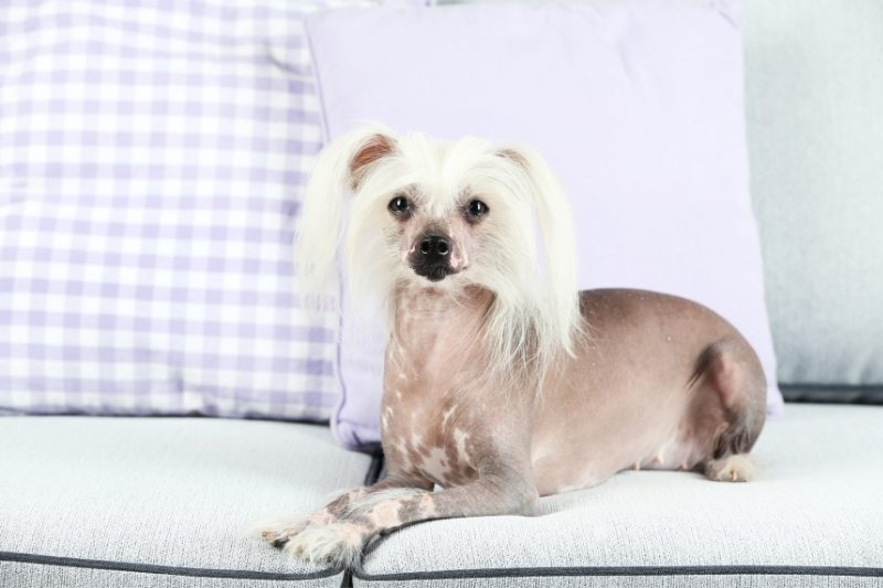 chinese crested dog hair