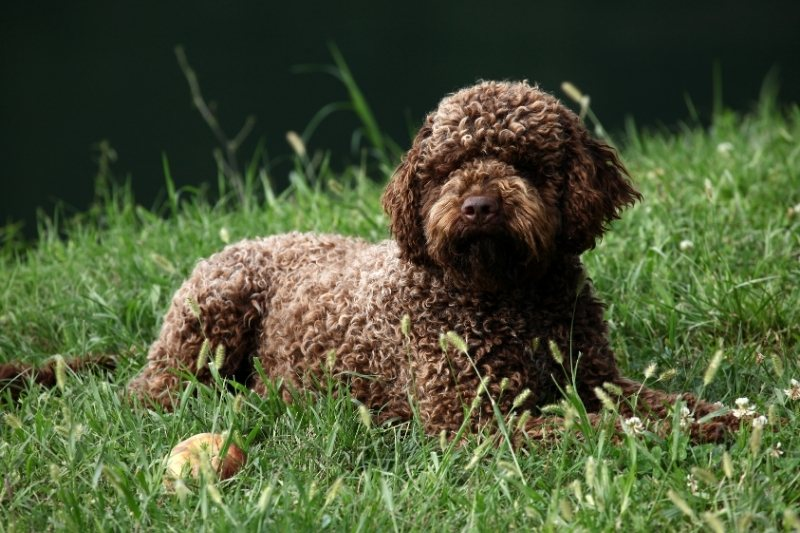 lagotto romagnolo dogs that dont shed