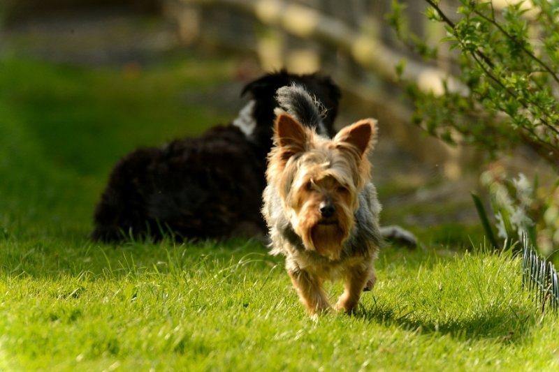 races de chiens hypoallergènes