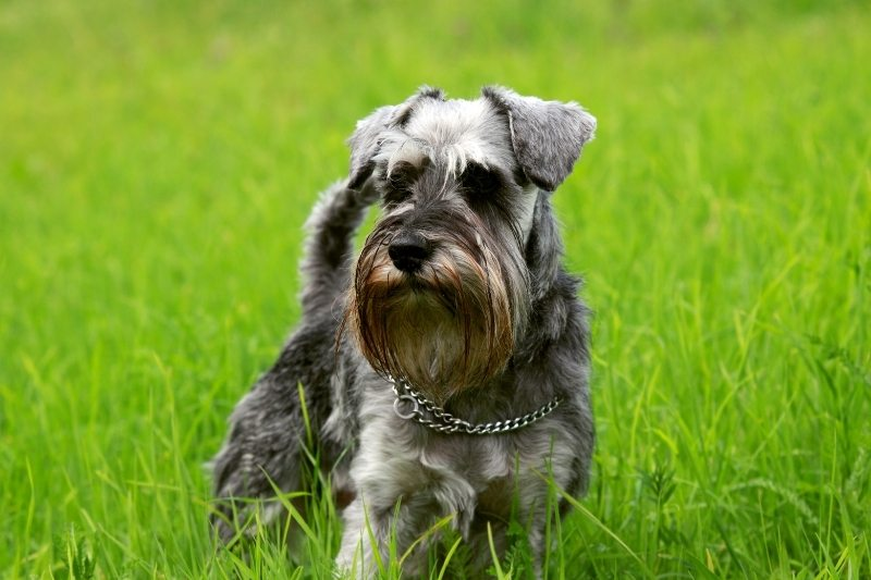 schnauzer dont shed