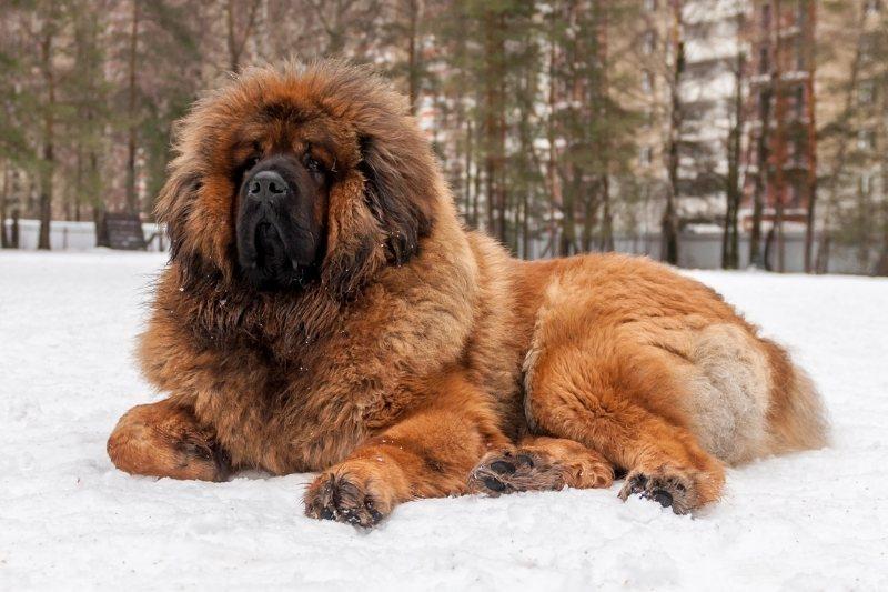 tibetan mastiff evolution of dogs