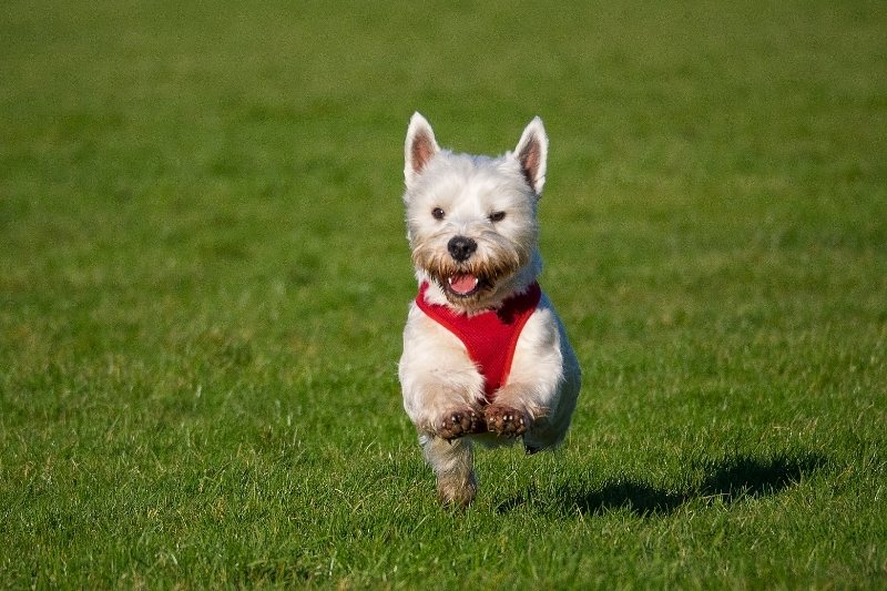 west highland terrier chien laineux