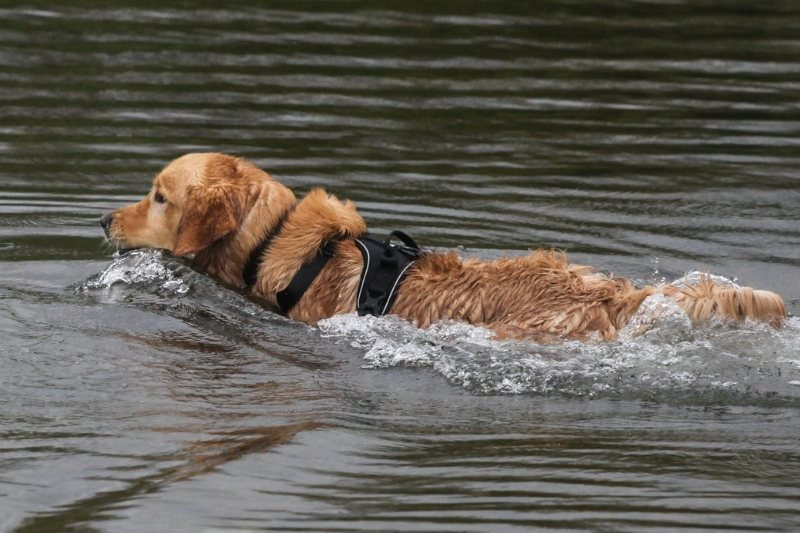 what were golden retrievers bred for
