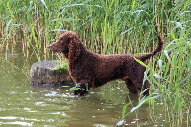american water spaniel water dog