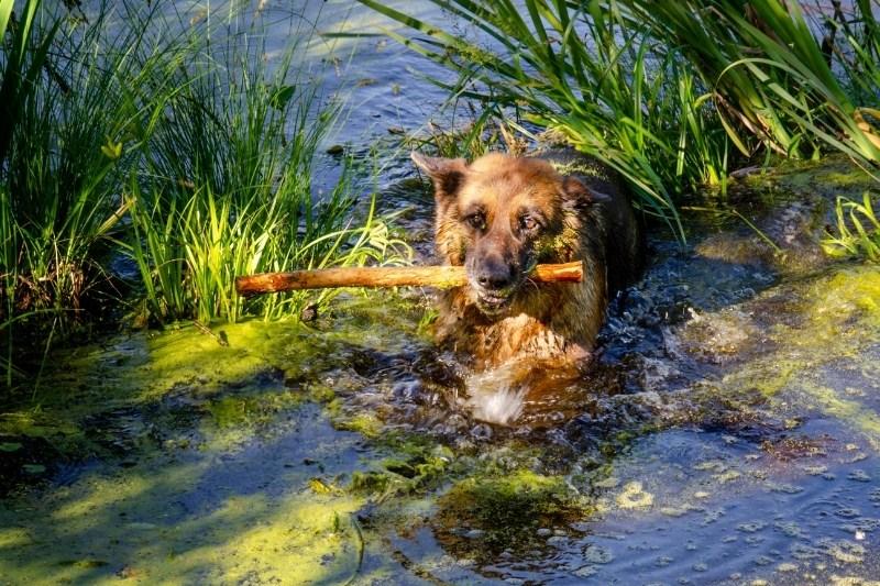 do german shepherds like to swim