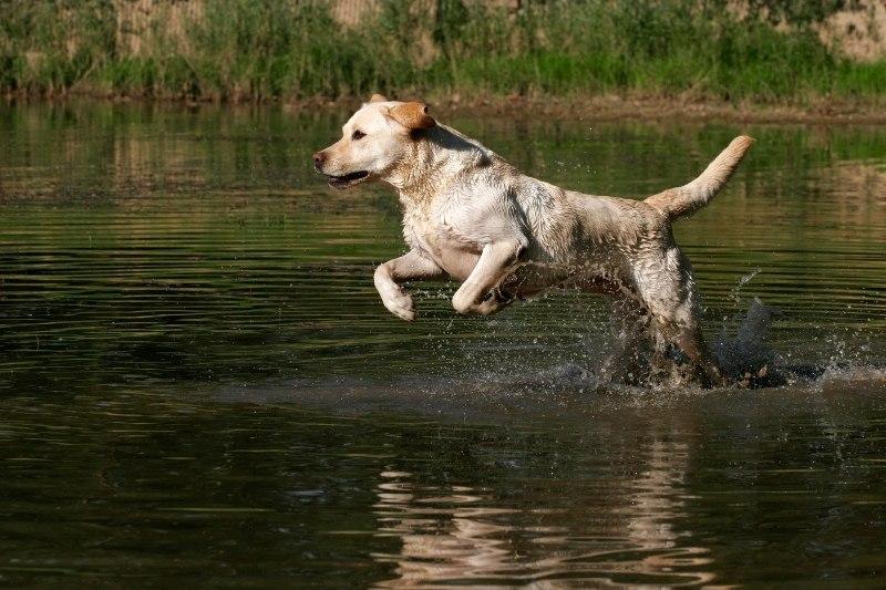 labrador water dog