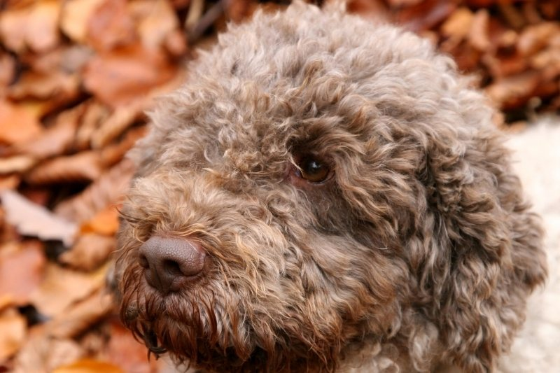 lagotto romagnolo does it like water