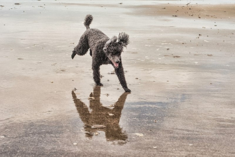 poodle water