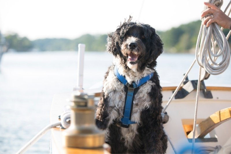 portuguese water dog water