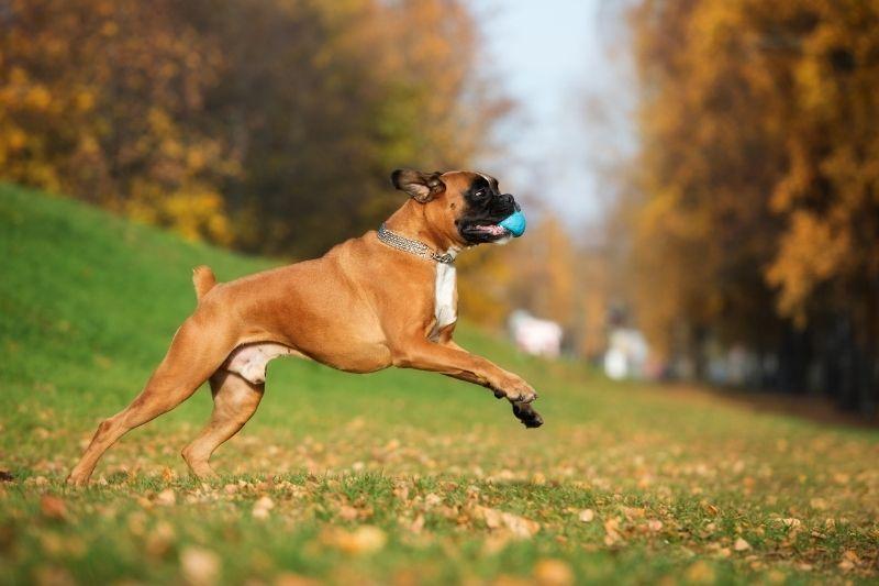 boxer running dog
