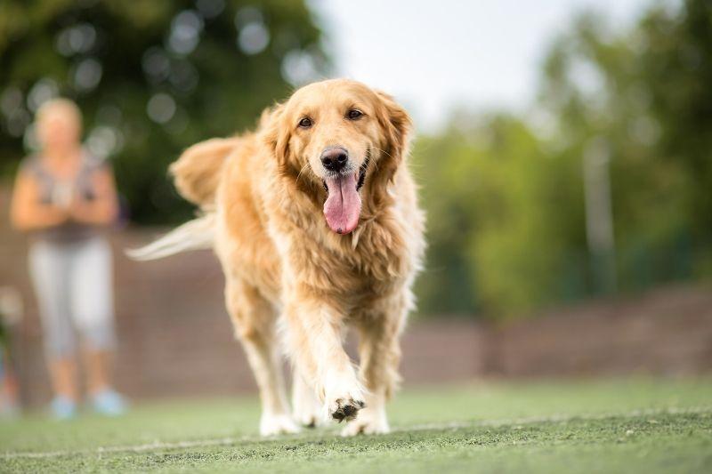 golden retriever large dog