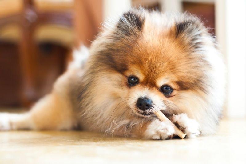 pomeranian small breed calm