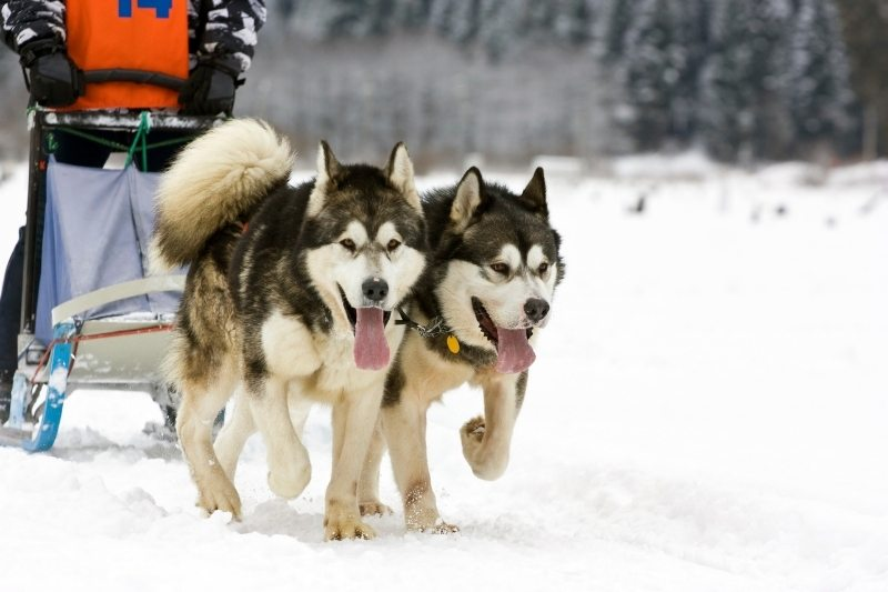 alaskan malamute pulling sled