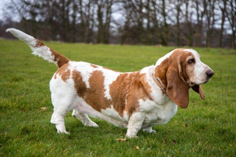 basset hound on grass