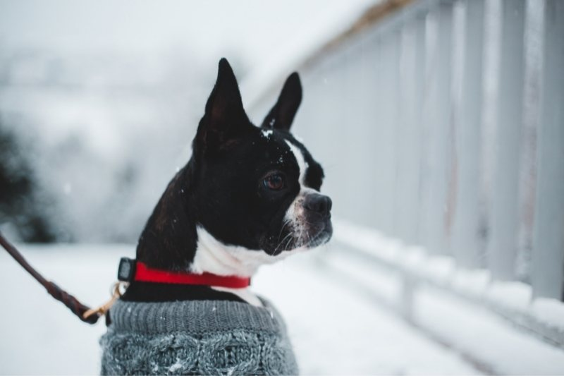 boston terrier with snow