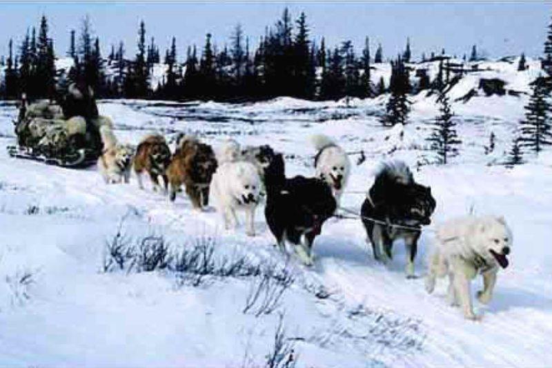canadian eskimo dog snow