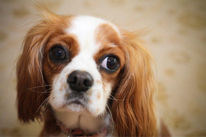 cavalier king charles spaniel college dog