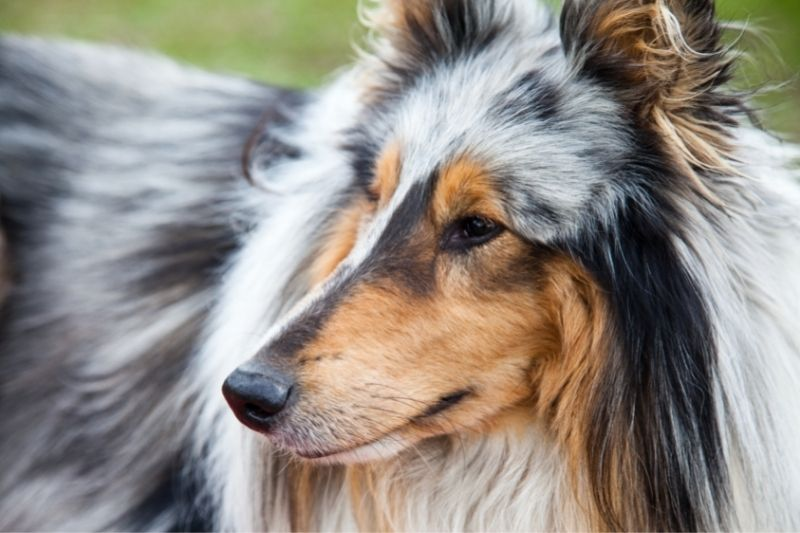 collie tricolored dog breed
