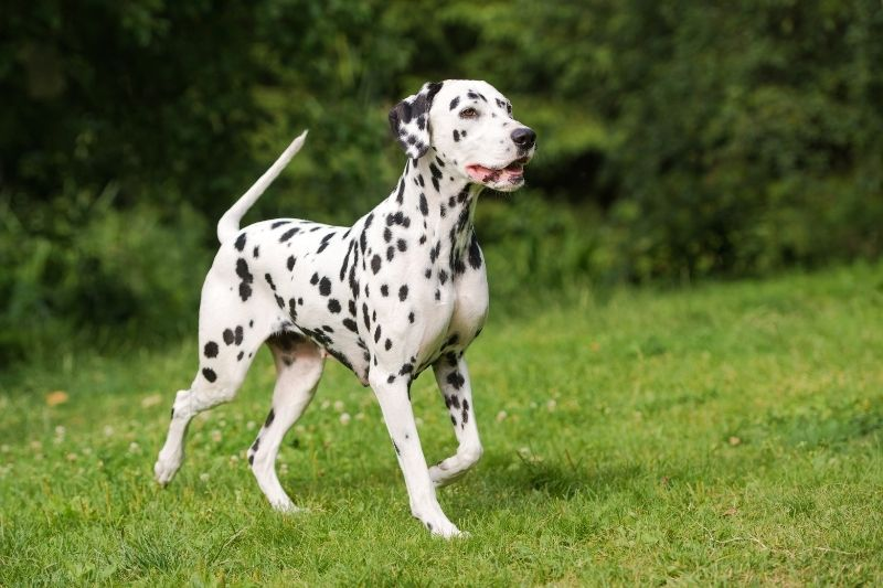 dalmata perros grandes