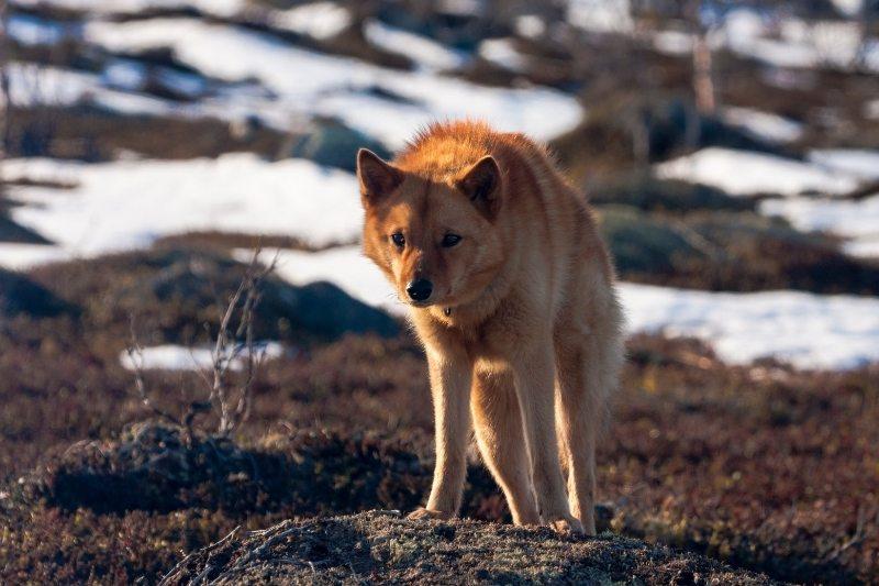 finnish spitz fox looking dog